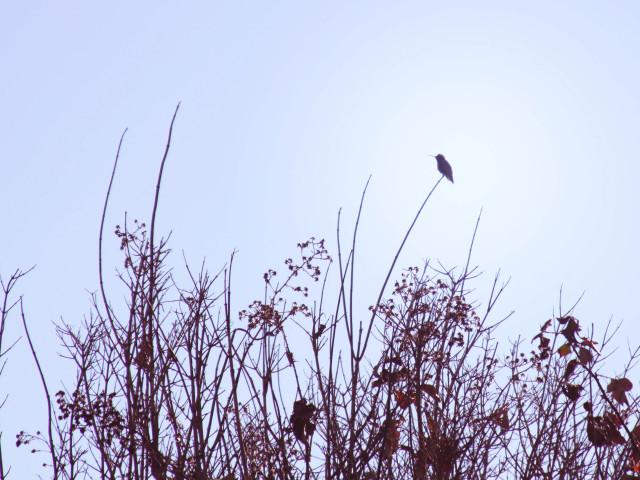 Hummingbird, Seacliff Beach