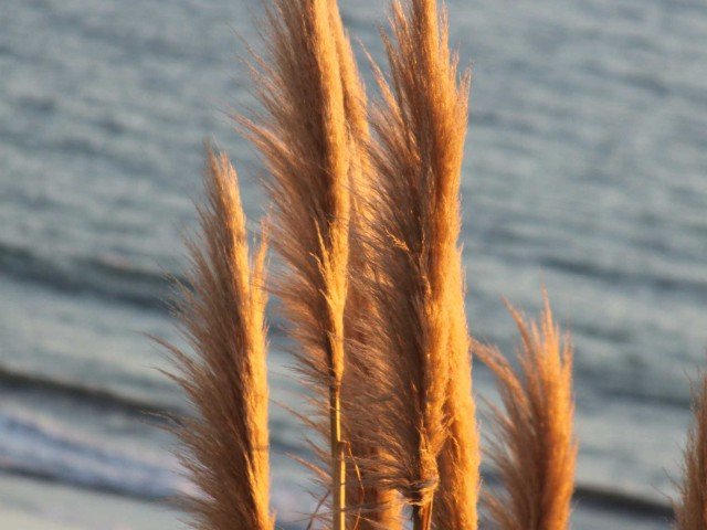 Pampas Grass Before Sunset
