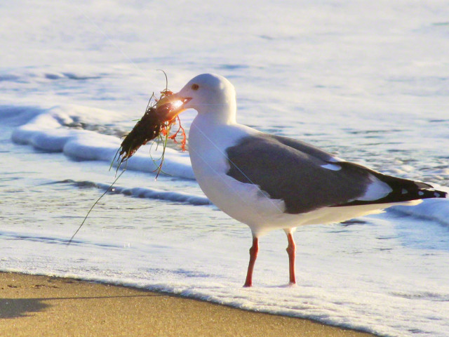 Seagull Snacking