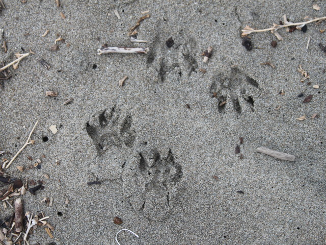 Raccoon Prints in the Sand